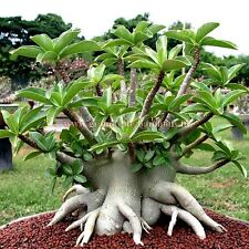 Bonsai seeds - ADENIUM ARABICUM Black Giant - Pack of 2 seeds