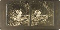 Stereo Zoologie Schlüpft Nid D' Vogel, Foto Vintage Analog PL62L6