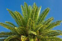 ** die Dattelpalme Zimmerpalme dekorativ im Eingangbereich Palmen Samen Exot.