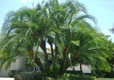 16 Semillas - Palmera de Senegal - PHOENIX RECLINATA - Garden Palm Samen Semi