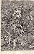 GABON PAYS FANG FLEUR LIS DE LA FORET FLOWER FOREST LYS IMAGE 1903 OLD PRINT