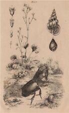 Saxifraga. Epitonium clathrum (Wentletrap). Helix pomatia. rhino beetle 1834