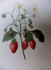LITH0GRAPH [ 1] FRUITS & FLOWERS BY P.J.REDOU  1955 STRAWBERRY