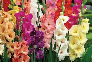 50 Mixed Gladioli Multi Colour Large Flowering Perennial Summer Garden Bulbs