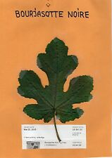 Bourjasotte Noire fig tree-2 cuttings- French Variety