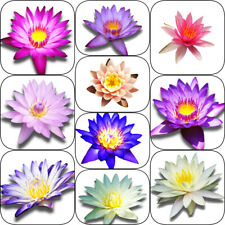 Random Select Nymphaea Tropical Live Water Lily Tuber Aquatic Pond Plant Flower
