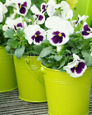PANSY SWISS - WHITE WITH BLOTCH - 500 SEEDS - Viola Wittrockiana