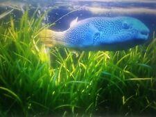 4 EELGRASS PLANTS; Saltwater Reef Coral Aquarium Macro Algae Natural Filtration