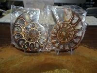 BEAUTIFUL 2.1 INCH POLISHED AMMONITE FOSSIL PAIR WITH STANDS FROM MADAGASCAR!!