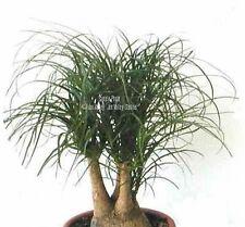 Beaucarnea recurvata Ponytail 10 Palm Tree Seeds Houseplant long green Leaves