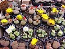 LITHOPS  Lebende Steine  Samen 4 x 30 Korn Portionen - ständig aktualisiert