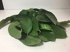 50 Guava Leaves Organic/ 50 Hojas De Guayaba Organica From California