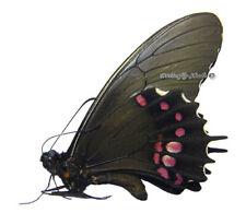 Unmounted Butterfly/Papilionidae - Papilio isidorus isidorus, male, Peru