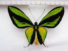 Ornithoptera paradisea ssp.detanii M , Indonesien  445