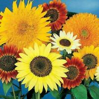 Sunflowers ALL SORTS MIX 7 AMAZING Varieties RARE Dwarf & Tall Non-GMO 25 Seeds