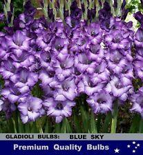 FLOWER BULBS - GLADIOLI - BLUE SKY -10 Bulbs