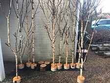 Decorative logs fantastic birch tree tops in birch log stands