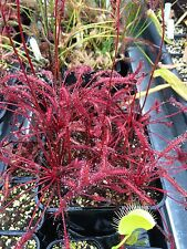 Drosera Capensis Red Plants Seed Fresh 2017