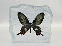 Ein echter Schmetterling (Common Rose) in Kunstharz gegossen Briefbeschwerer