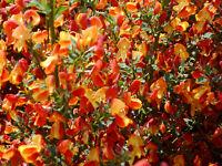 Korkflügelstrauch Euonymus alatus 40-60cm Frühlingsblüher Herbstfärbung