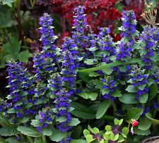 BUGLEWEED, 5 LIVE PLANTS! cannot hold, must ship immediate! GroCo