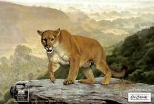 "Charles Frace ""Shasta"" #150//2500  Cougar RARE MINT  w COA Cougar"