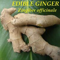 ~EDIBLE GINGER~ HOT & SPICY Zingiber officinale Canton Cooking Ginger 3 Rhizomes