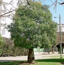 BRACHYCHITON australis Broad-leaved Bottle Tree Seeds (N 326)