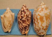 Cymbiola Vespertilio 3 Shells 64,80,+87mm Balayan Bay Batangas,Philippines 5-10