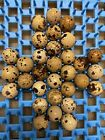 Quail Hatching Eggs - Coturnix Jumbo Assorted Color 32+ Fresh Eggs FREE SHIPPING