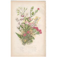 Anne Pratt antique 1860 botanical print Flowering Plants Pl 38 Moss Campion