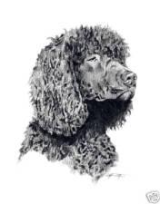 Irish Water Spaniel Dog Drawing Art 13 X 17 by Artist Djr