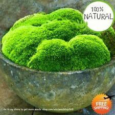 Moss Bonsai Florespotted Seeds Plants Ornamental For Green Rare Home 100pcs