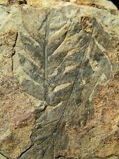 EXCELENTE PLACA RAROS HELECHOS FOSILES. Odontopteris brardii. NºSS61