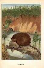 """1926 Vintage ANIMALS """"MUSKRAT"""" GORGEOUS COLOR Art Print Plate Lithograph"""