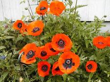 poppy, Oriental, scarlet orange flower, Poppies, 400 Seeds! GroCo*-