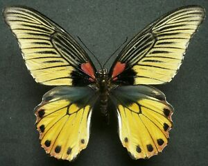 PAPILIO MEMNON AGENOR FEMALE YELLOW FORM FROM THAILAND