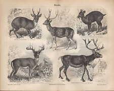 Lithografie 1890: HIRSCHE. Renntier Muntjak Rotspießhirsch Axis Virginischer Hir