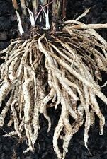 Skirret Seeds - delicious rare root vegetable. 50 seeds from a UK seller