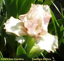 "1 ""Smitten Kitten Intermediate Bearded Iris Rhizome"