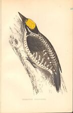 1865 ca - ANTIQUE ORNITHOLOGICAL PRINT- THREE TOED WOODPECKER