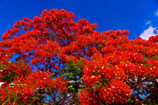 Royal Poinciana Tree Plant Red Flower Fresh Seeds 12+