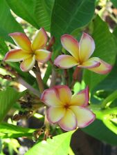 "Very Rare! Grafted J.L. Dane Cutting Plumeria Plant - 15"" - 1 Tip"