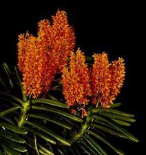 Ascocentrum Species ´Orange Sundown´ XL Pflanze blühstark Orchidee Orchideen