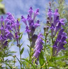 50pcs Scutellaria baicalensis Chinese herb seeds