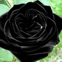100Pcs Mysterious Black Rose Flower Plant Seeds Rare Plant Garden Home Decor Pr