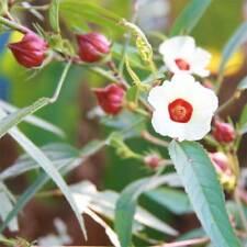 Hibiscus Sabdariffa - 50 Seeds - Roselle / Rosella