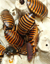 10 mixed NYMPHS Halloween Madagascar Hissing Cockroaches E. Javonica. LIVE FOOD