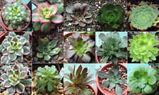 Aeonium Mix 10 SEEDS  * Exotic Cute Rare succulent * CombSH C81