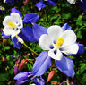 50 Blue Columbine Seeds Aquilegia Vulgaris Garden Flowers